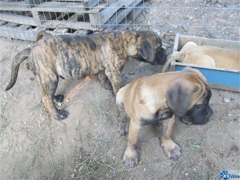 puppies for sale brindle red fawn