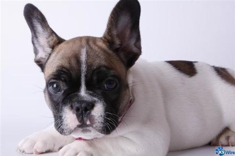 reseve a French Bulldog puppy today