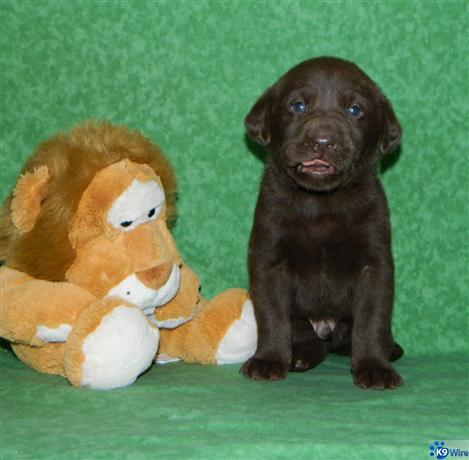 AKC Registered Lab Puppies